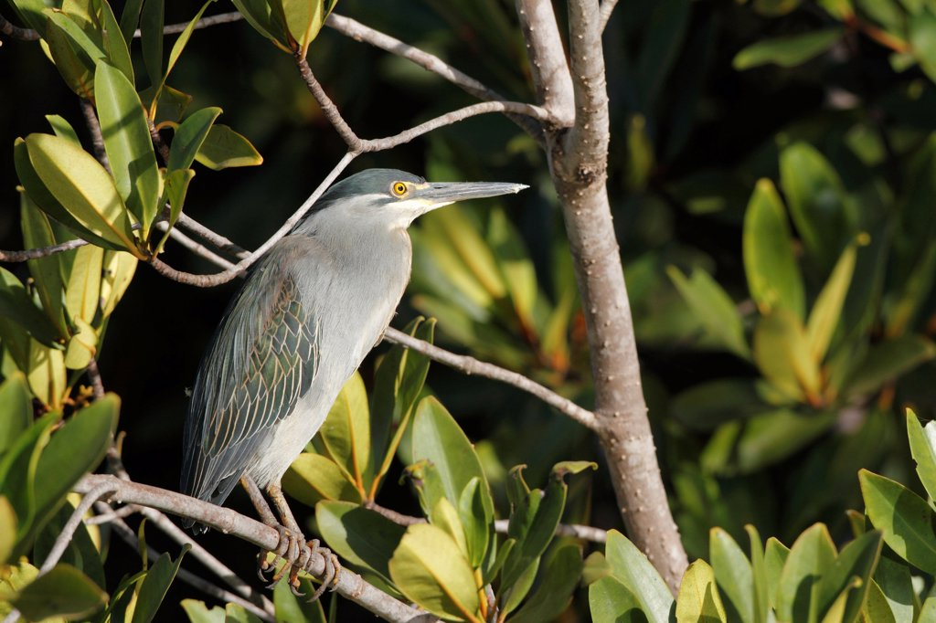 Stock Photo: 4421-6876 Striated Heron (Butorides striatus) adult, perched on mangrove branch, Gambia, january