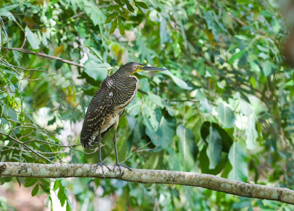 Bare-throated Tiger-heron (Tigrisoma mexicanum) juvenile, standing on branch in lowland tropical forest, Tikal N.P., Peten, Guatemala : Stock Photo
