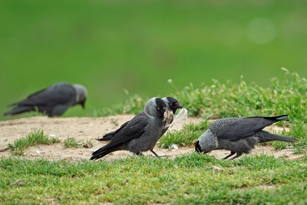 Stock Photo: 4421-7095 Jackdaw (Corvus monedula soemmerringii) 'Nordic' race, four adults, collecting nesting material, Tulcea, Danube Delta, Dobrogea, Romania, may