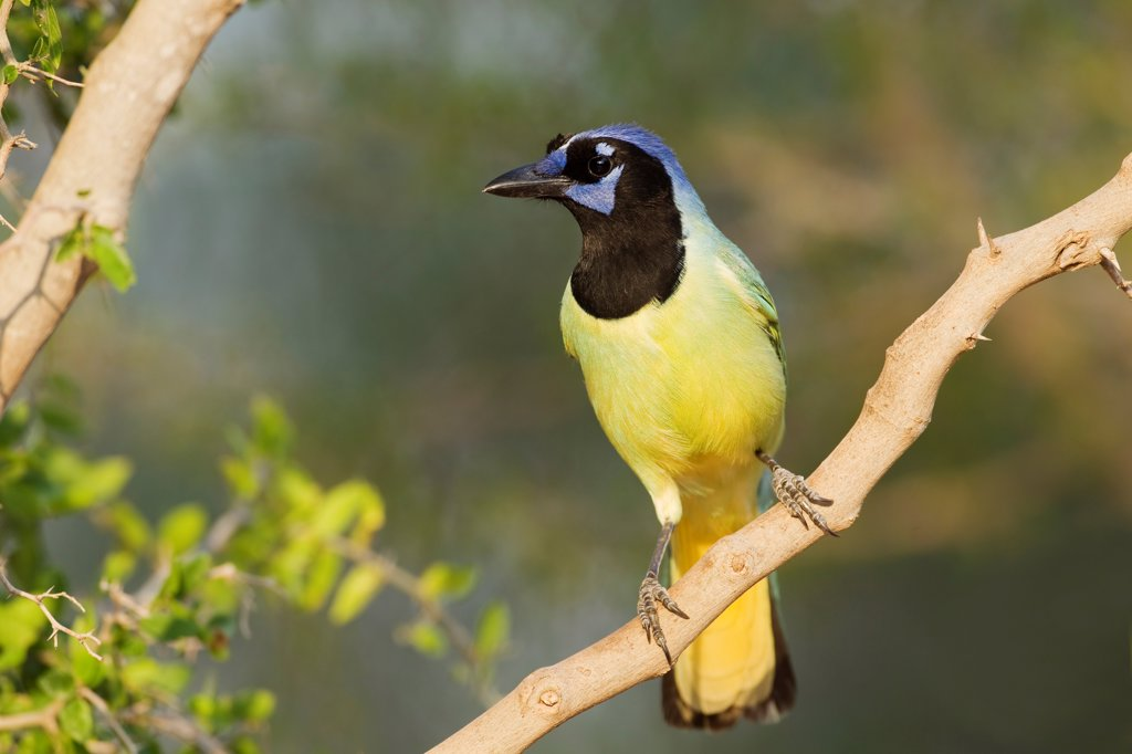 Green Jay (Cyanocorax yncas) adult, perched on branch, South Texas, U.S.A., april : Stock Photo