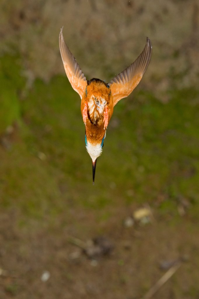 Common Kingfisher (Alcedo atthis) adult male, in flight, diving, Suffolk, England, may : Stock Photo