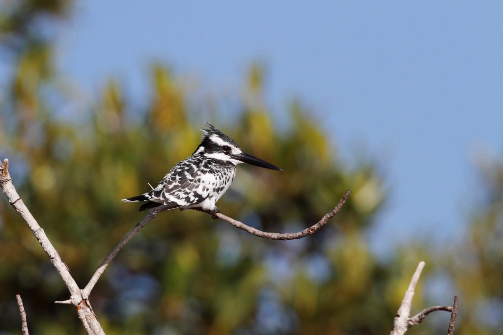 Pied Kingfisher (Ceryle rudis) adult, perched on twig, Gambia, january : Stock Photo