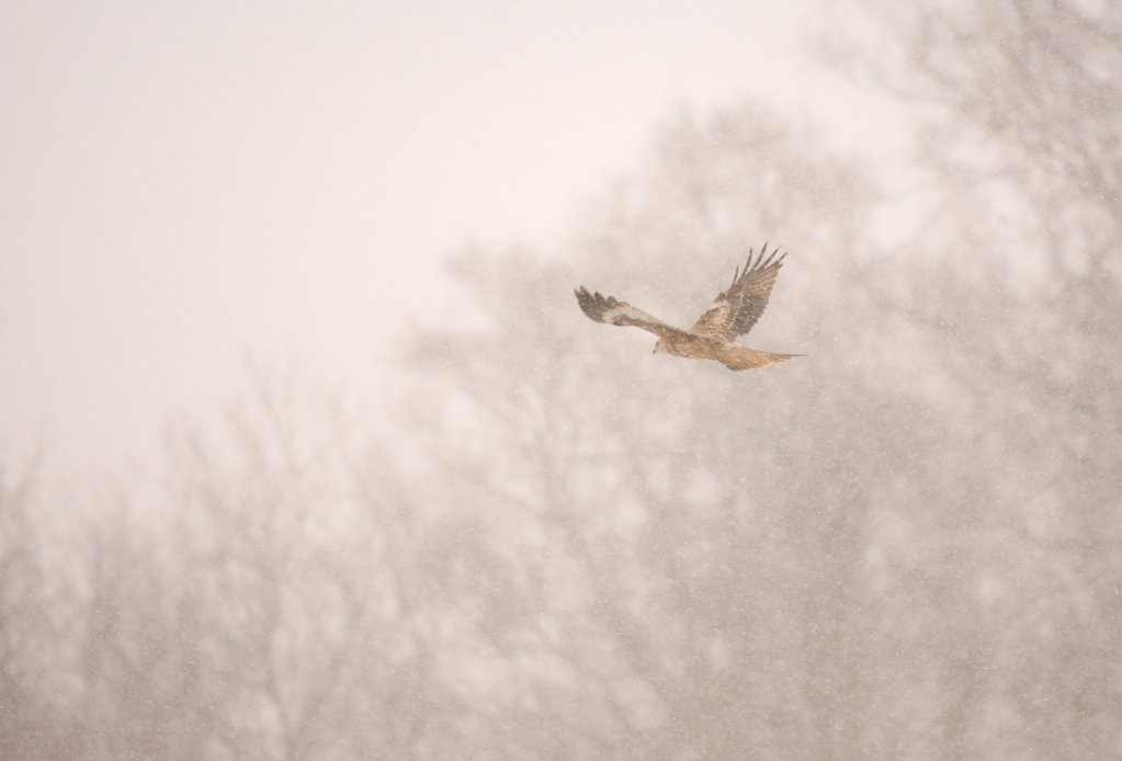 Red Kite (Milvus milvus) adult, in flight, during heavy blizzard, Gigrin Farm, Powys, Wales, february : Stock Photo