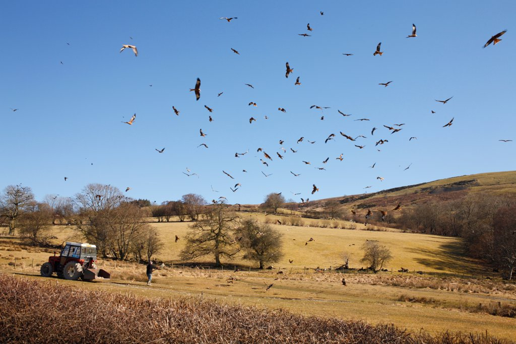 Stock Photo: 4421-7635 Red Kite (Milvus milvus) flock, in flight, gathering over feeding station, Gigrin Farm, Powys, Wales, april