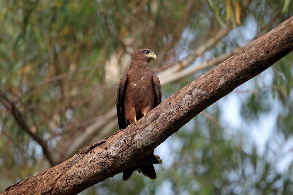 Stock Photo: 4421-7669 Yellow-billed Kite (Milvus aegyptius) adult, perched on branch, Gambia, march