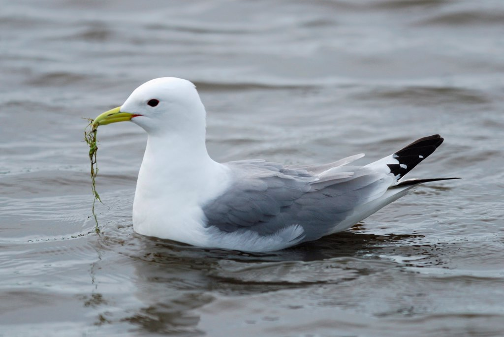 Stock Photo: 4421-7700 Black-legged Kittiwake (Rissa tridactyla) adult, collecting nesting material at sea, Skomer Island, Pembrokeshire, Wales, may
