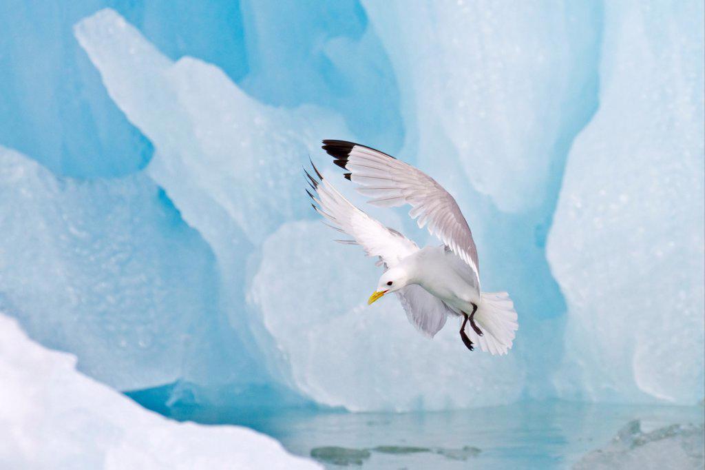 Stock Photo: 4421-7706 Black-legged Kittiwake (Rissa tridactyla) adult, in flight, landing beside blue iceberg, Spitzbergen, Svalbard, july
