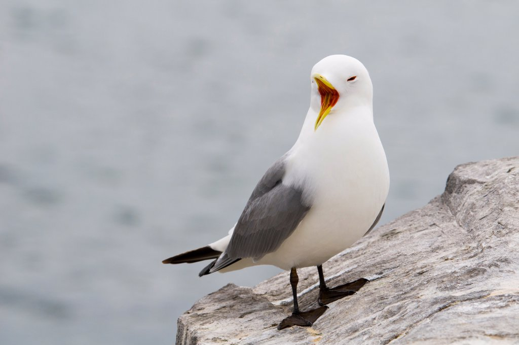 Stock Photo: 4421-7719 Black-legged Kittiwake (Rissa tridactyla) adult, calling, standing on rocky outcrop, Inner Farne, Farne Islands, Northumberland, England, may