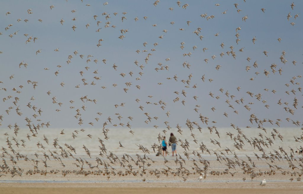 Stock Photo: 4421-7758 Knot (Calidris canutus) flock, in flight over beach, with people in background, Norfolk, England, august