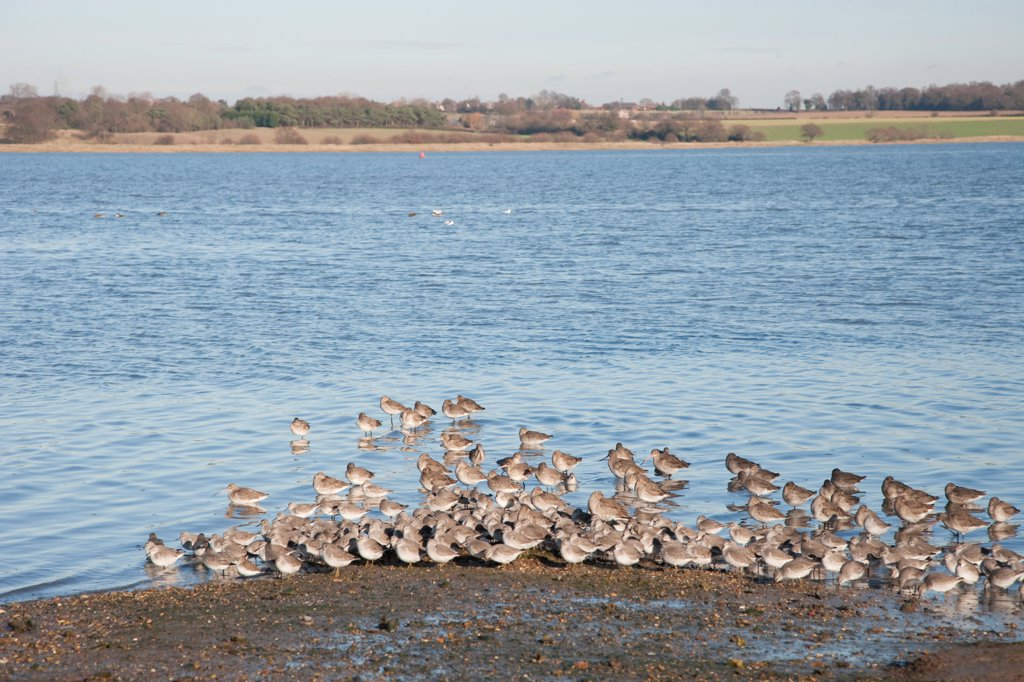 Knot (Calidris canutus) and Black-tailed Godwit (Limosa limosa) flock, winter plumage, roosting at high tide in river habitat, River Stour, Essex, England, january : Stock Photo