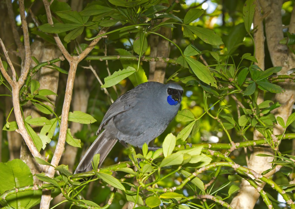 Stock Photo: 4421-7769 North Island Kokako (Callaeas cinerea wilsoni) adult, feeding on leaves, Tiritiri Matangi Island, Hauraki Gulf, North Island, New Zealand, november