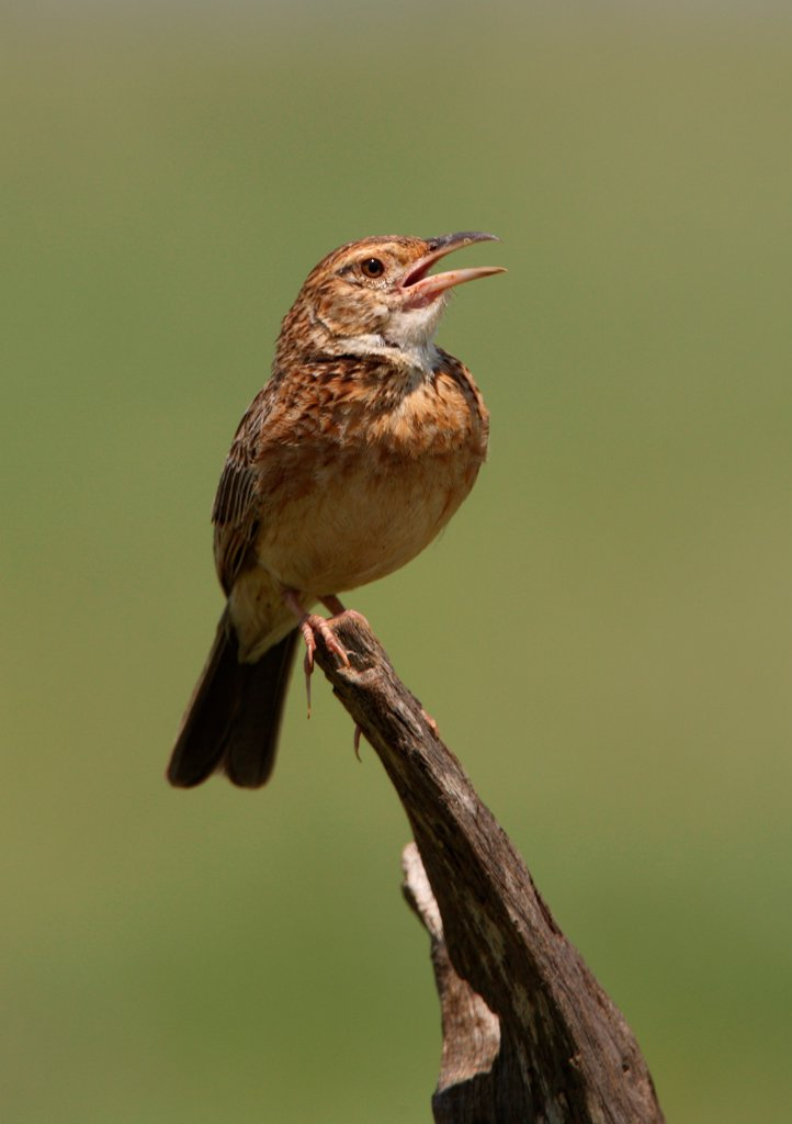 Red-winged Lark (Mirafra hypermetra) adult male, singing, perched on stump, Tsavo East N.P., Kenya, november : Stock Photo