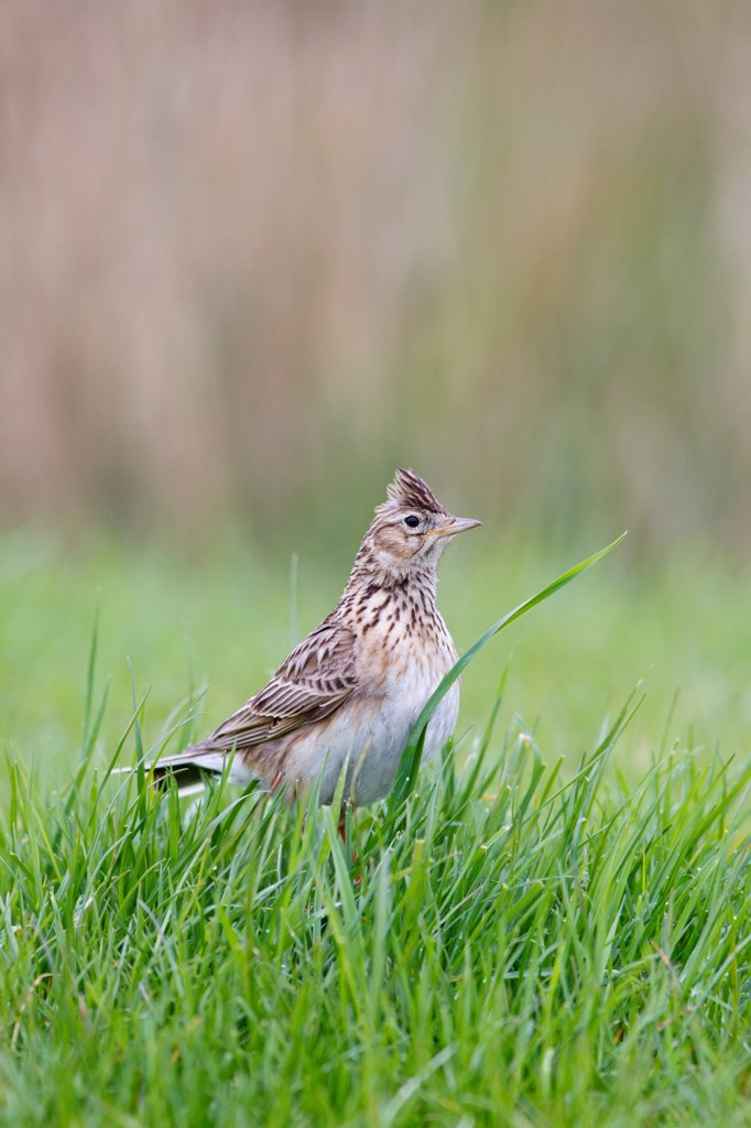 Skylark (Alauda arvensis) adult, with crest raised, standing on grazing marsh, Suffolk, England, may : Stock Photo