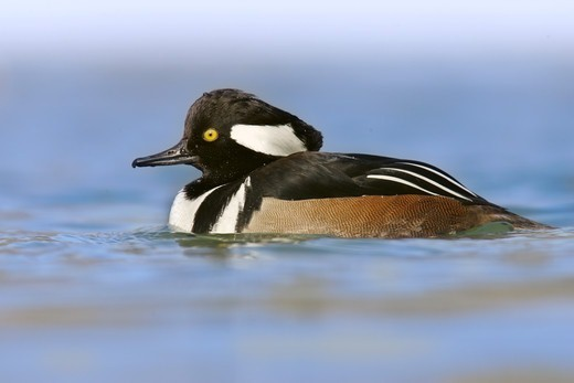 Stock Photo: 4421-8174 Hooded Merganser (Lophodytes cucullatus) adult male, swimming, U.S.A.