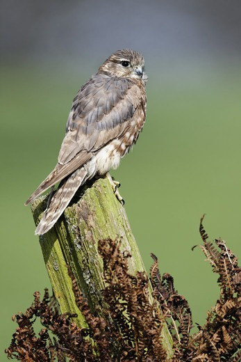 Stock Photo: 4421-8231 Merlin (Falco columbarius) adult female, perched on post, England, april (captive)