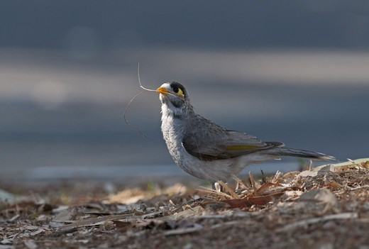 Noisy Miner (Manorina melanocephala) adult, collecting nesting material, Queensland, Australia : Stock Photo