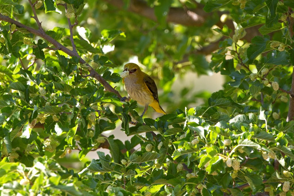 Golden Oriole (Oriolus oriolus) adult female, feeding on White Mulberry (Morus alba) fruit in tree, Extremadura, Spain, may : Stock Photo