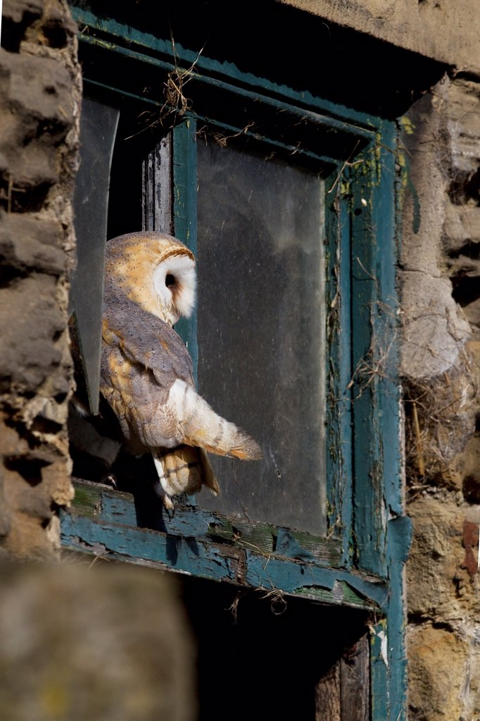 Barn Owl (Tyto alba) adult, perched at window of farm building, South Yorkshire, England, spring : Stock Photo