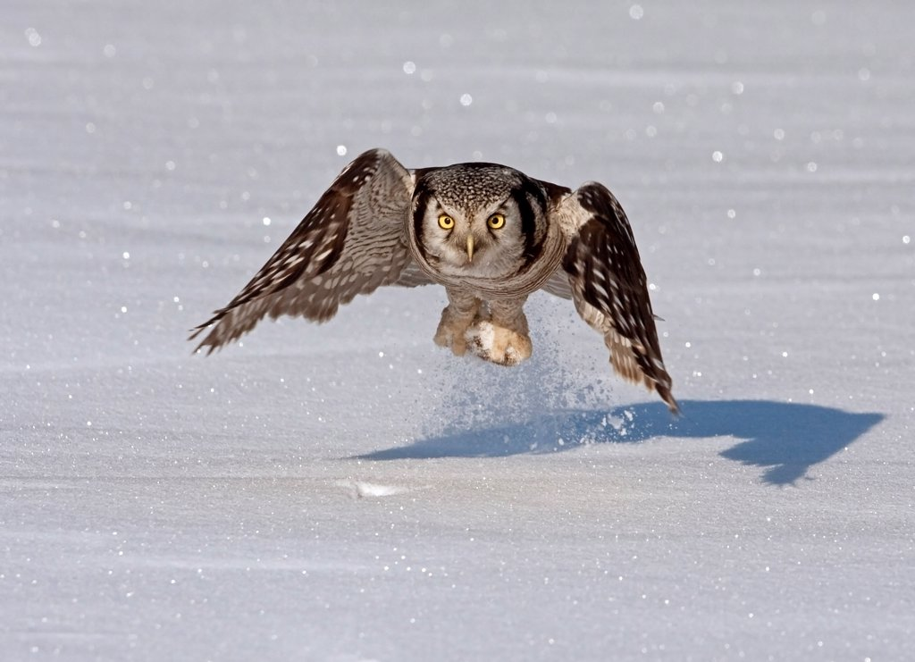 Northern Hawk Owl (Surnia ulula) adult, in flight, catching vole prey on snow, Finland, march : Stock Photo