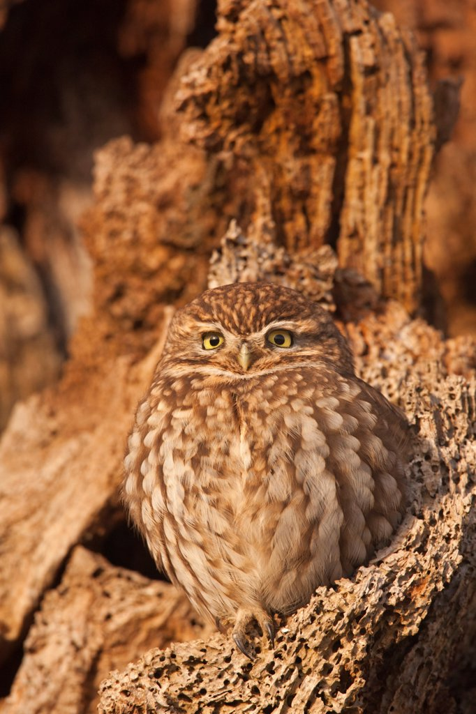 Little Owl (Athene noctua) adult, perched in dead tree, Norfolk, England, december : Stock Photo