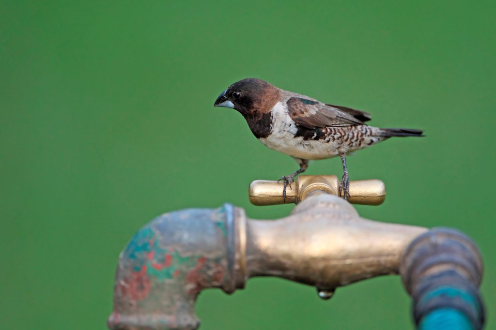 Bronze Munia (Lonchura cucullata) adult, perched on tap, Western Division, Gambia, march : Stock Photo