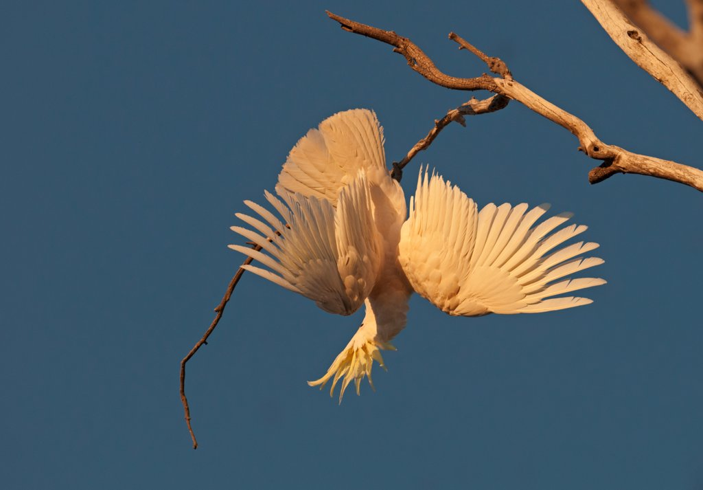Sulphur-crested Cockatoo (Cacatua galerita) adult, with wings spread, hanging from branch, Miles, Queensland, Australia : Stock Photo