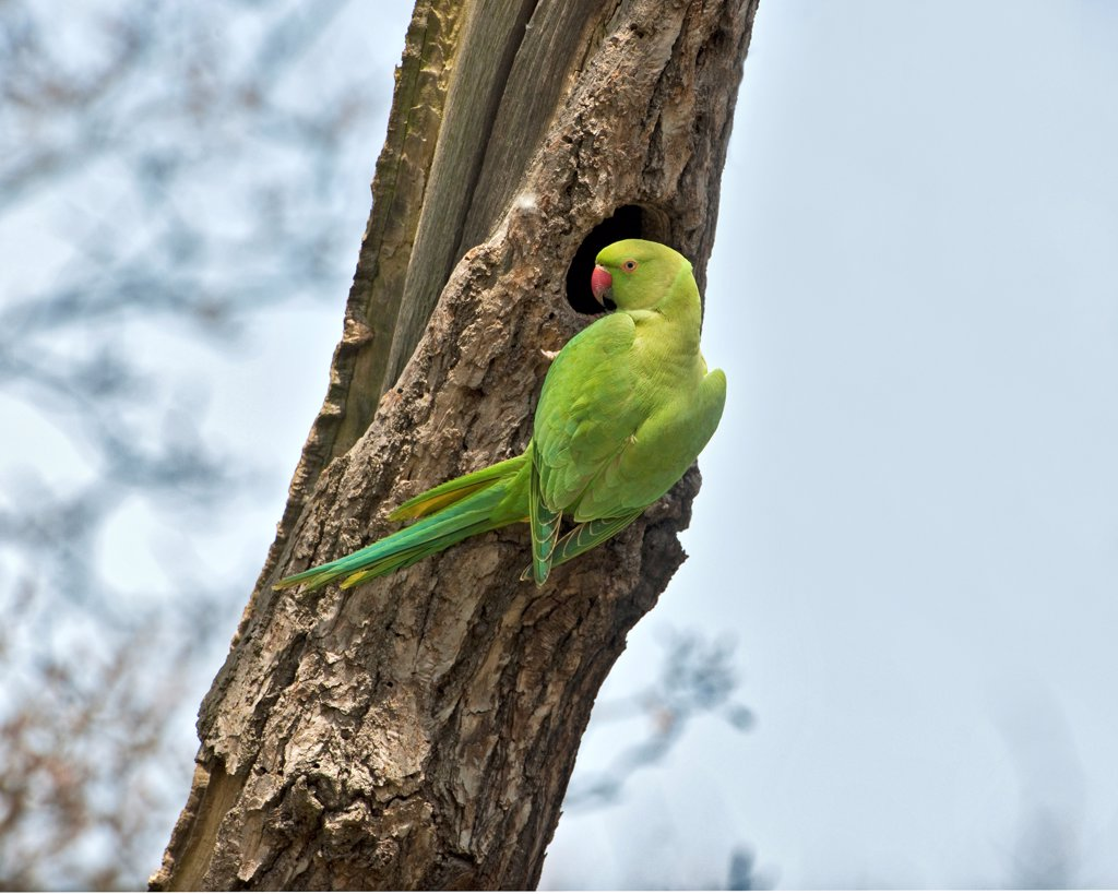 Stock Photo: 4421-9169 Rose-ringed Parakeet (Psittacula krameri) introduced species, adult female, at nesthole in tree trunk, England, april