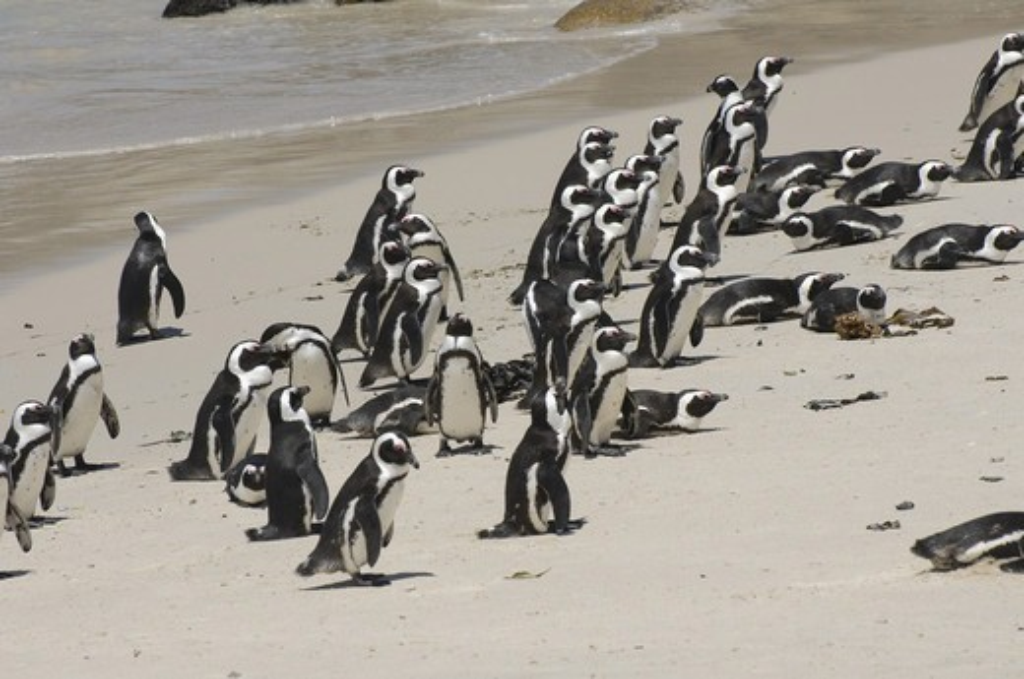 Jackass Penguin (Spheniscus demersus) aduls, colony on sandy beach, Boulders Beach, Simon's Town, Western Cape, South Africa : Stock Photo