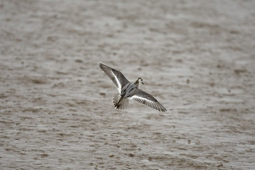 Stock Photo: 4421-9534 Grey Phalarope (Phalaropus fulicarius) adult, winter plumage, in flight over mudflats, Norfolk, England