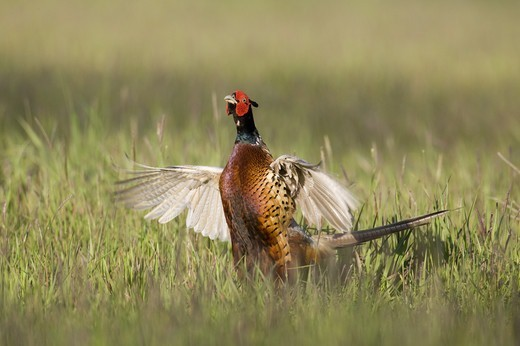 Stock Photo: 4421-9603 Common Pheasant (Phasianus colchicus) adult male, pale variant, displaying in fallow field, Oxfordshire, England