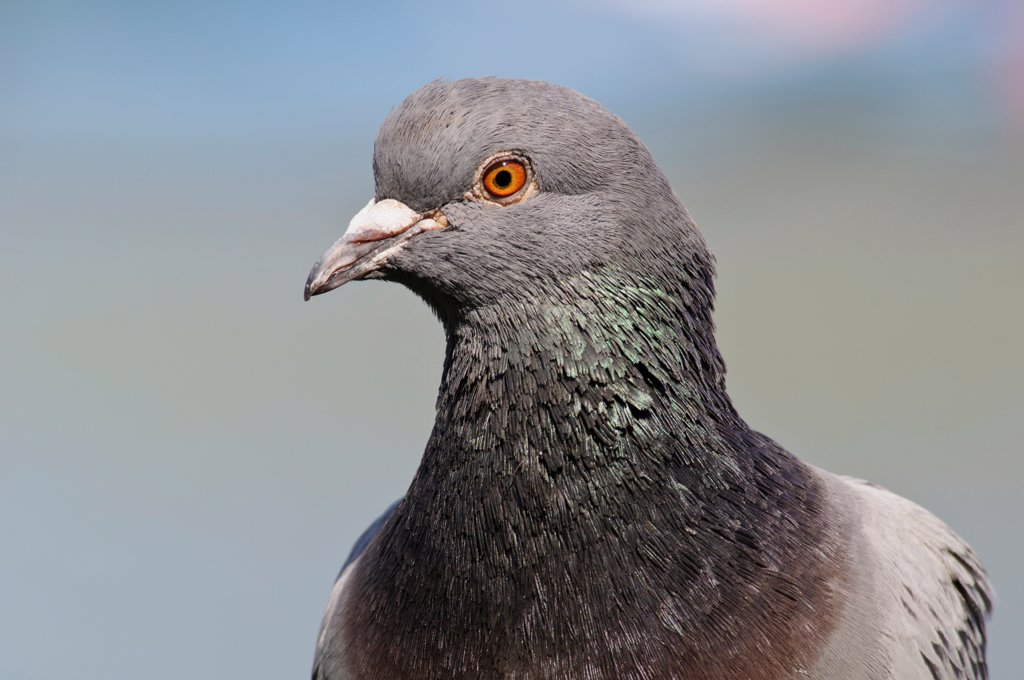 Stock Photo: 4421-9737 Feral Pigeon (Columba livia) adult, close-up of head, in city parkland, Regent's Park, London, England, april