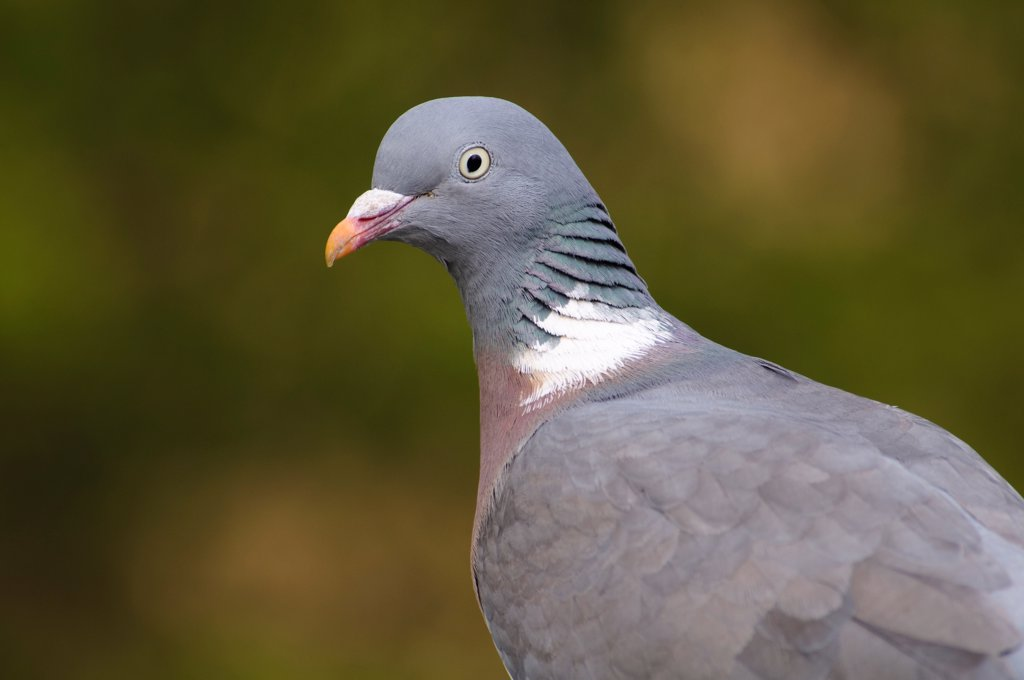 Stock Photo: 4421-9825 Wood Pigeon (Columba palumbus) adult, close-up of head and shoulders, Regent's Park, London, England, april