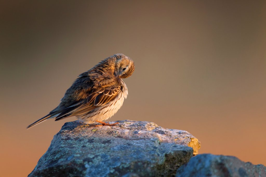 Stock Photo: 4421-9880 Meadow Pipit (Anthus pratensis) adult, preening, perched on drystone wall in late evening sunlight, Lammermuir Hills, Scottish Borders, Scotland, may