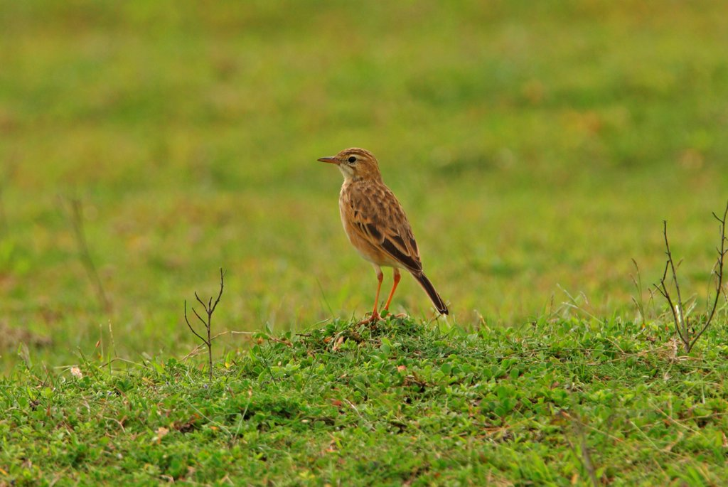 Stock Photo: 4421-9966 Paddyfield Pipit (Anthus rufulus) adult, standing in grassland, Sri Lanka, december
