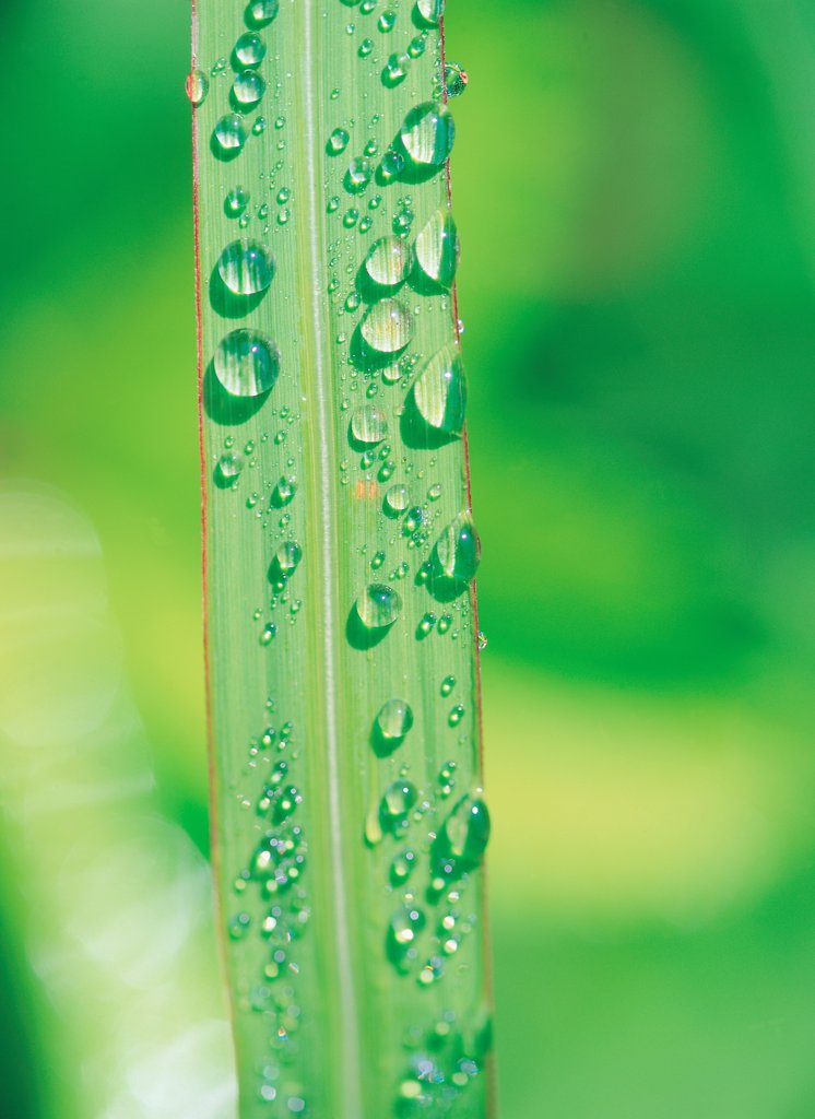 Dew Leaf : Stock Photo