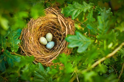 Stock Photo: 4428R-13325 Close up of bird's eggs in nest outdoors, United Kingdom
