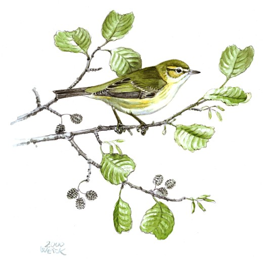 Stock Photo: 4430-12329 zoology / animals, avian / birds, Chiffchaff (Phylloscopus collybita), sitting on branch, watercolour by Friedhelm Weick, 2000,