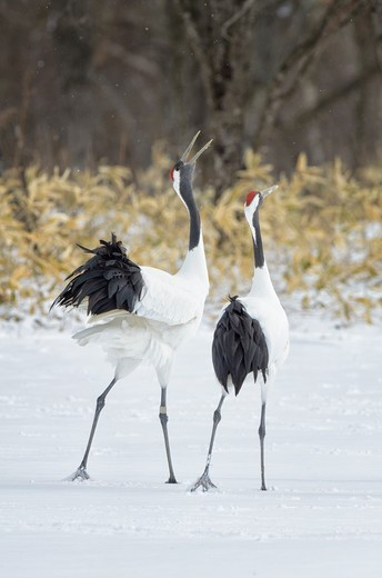 Stock Photo: 4431-1195 Japan, Hokkaido, Japanese Red-crowned Cranes (Grus japonensis) performing courtship dance