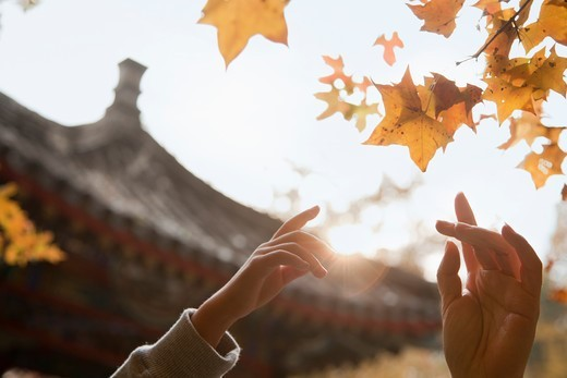 Stock Photo: 4432R-3026 Human hands reaching for a leaf in the autumn, lens flare