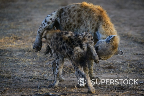 Spotted hyena crocuta crocuta or laughing hyena greeting they similar images m4hsunfo