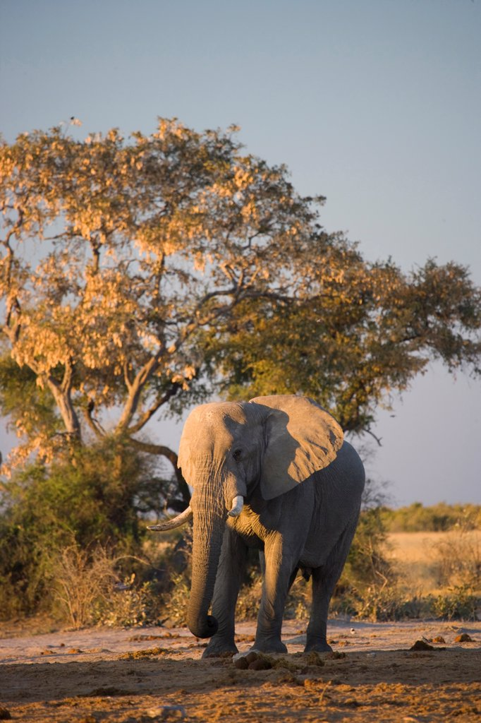 Stock Photo: 4441-7145 Elephant (Loxodonta africana) at Pump Pan. Savuti. Chobe National Park. Botswana