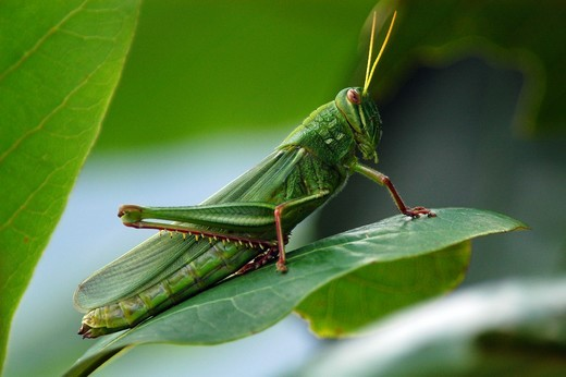 Stock Photo: 4445R-8814 Locust on leaves