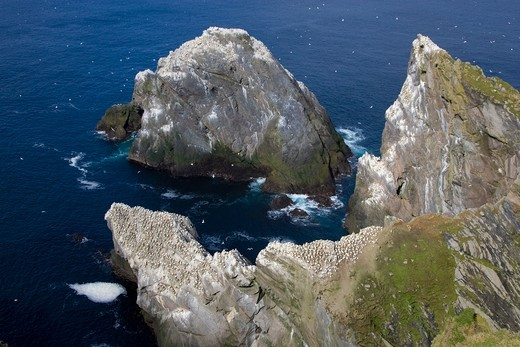 Colony of gannets, Northern Gannets, circling above rocks, National Nature Reserve, Hermaness, island of Unst, Shetland islands, Scotland, Great Britain : Stock Photo
