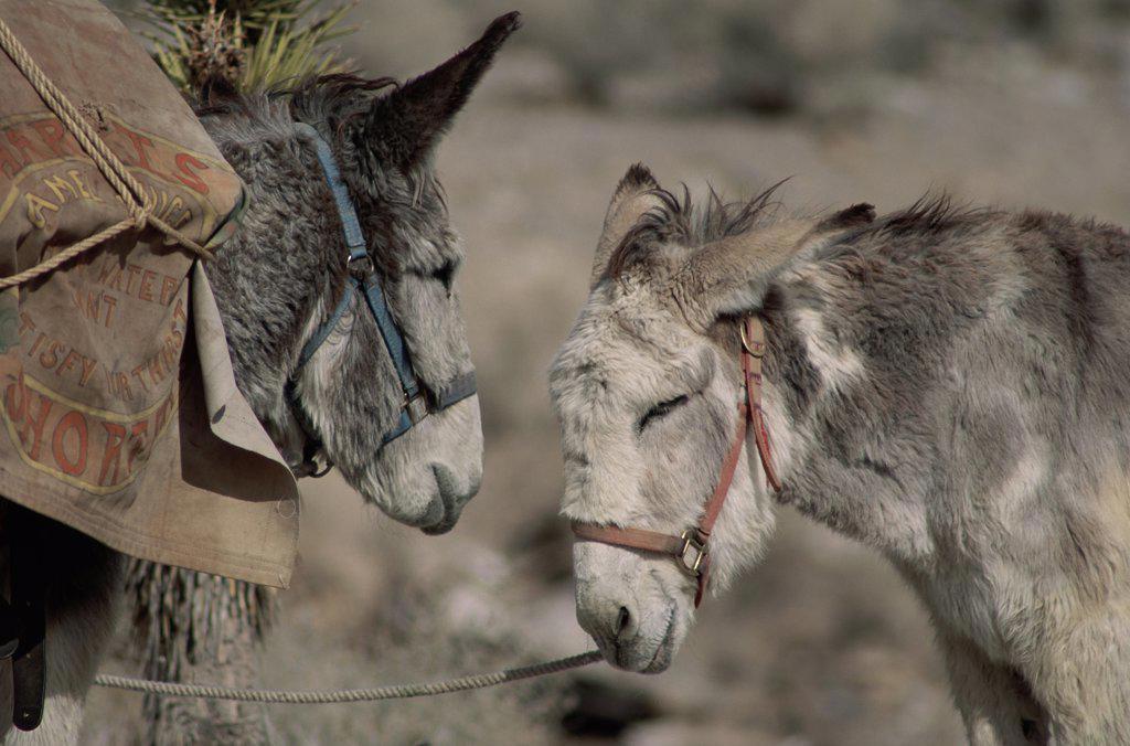 Stock Photo: 445-2322 Two Donkeys face to face, Rhyolite, Nevada, USA