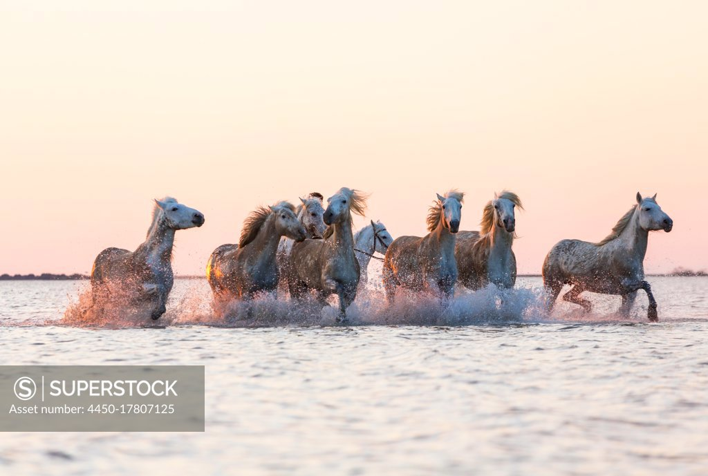 Stock Photo: 4450-17807125 White horses running through water, The Camargue, France