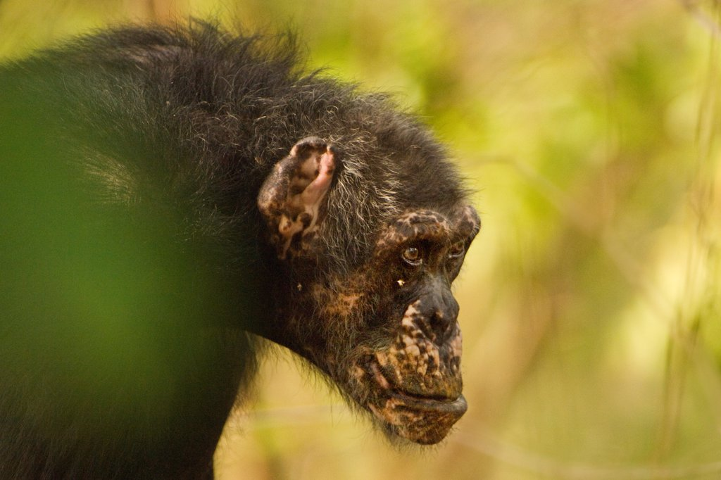 Stock Photo: 4450-3063 Chimpanzee, Pan Troglodytes verus in Senegal