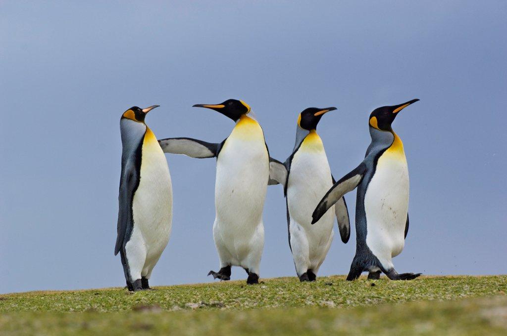 King penguins quarreling, Aptenodytes patagonicus, Falkland Islands : Stock Photo