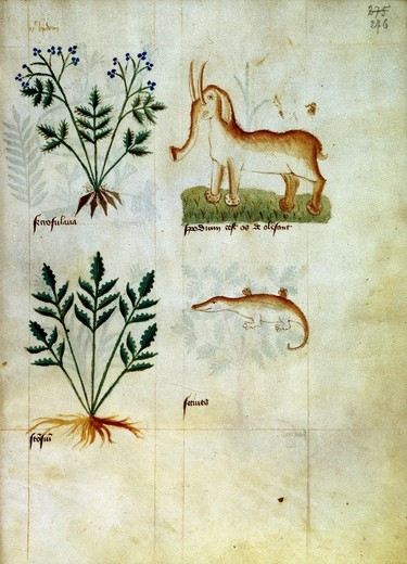 Stock Photo: 463-284540 Medicine Manuscript / Illumin. / c.1400