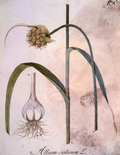 Stock Photo: 463-7398 Garlic,  botanical print,  copper engraving,  1788