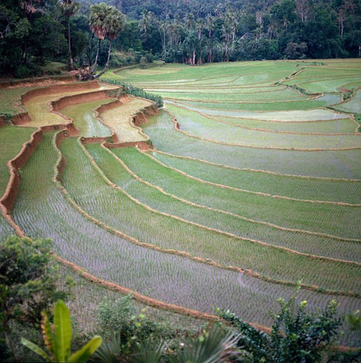 High angle view of terraced rice fields, Sulawesi, Indonesia : Stock Photo